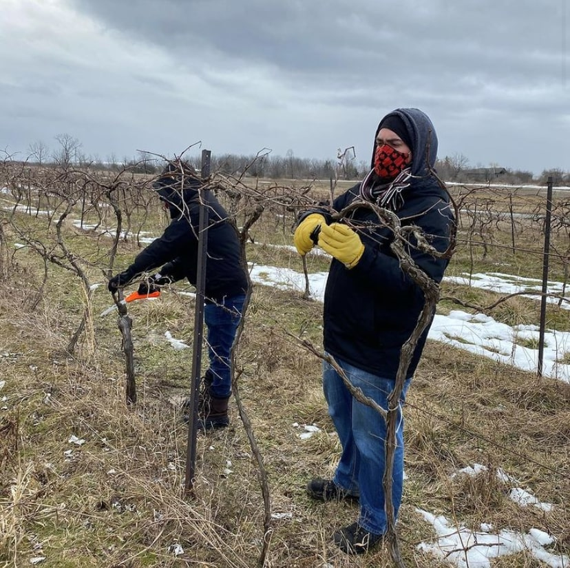 Two Canalside Soda employees are pruning grape vines on their farm in Grimsby, Ont. Canalside Soda began production again for their staple fall soda flavours in March 2020.