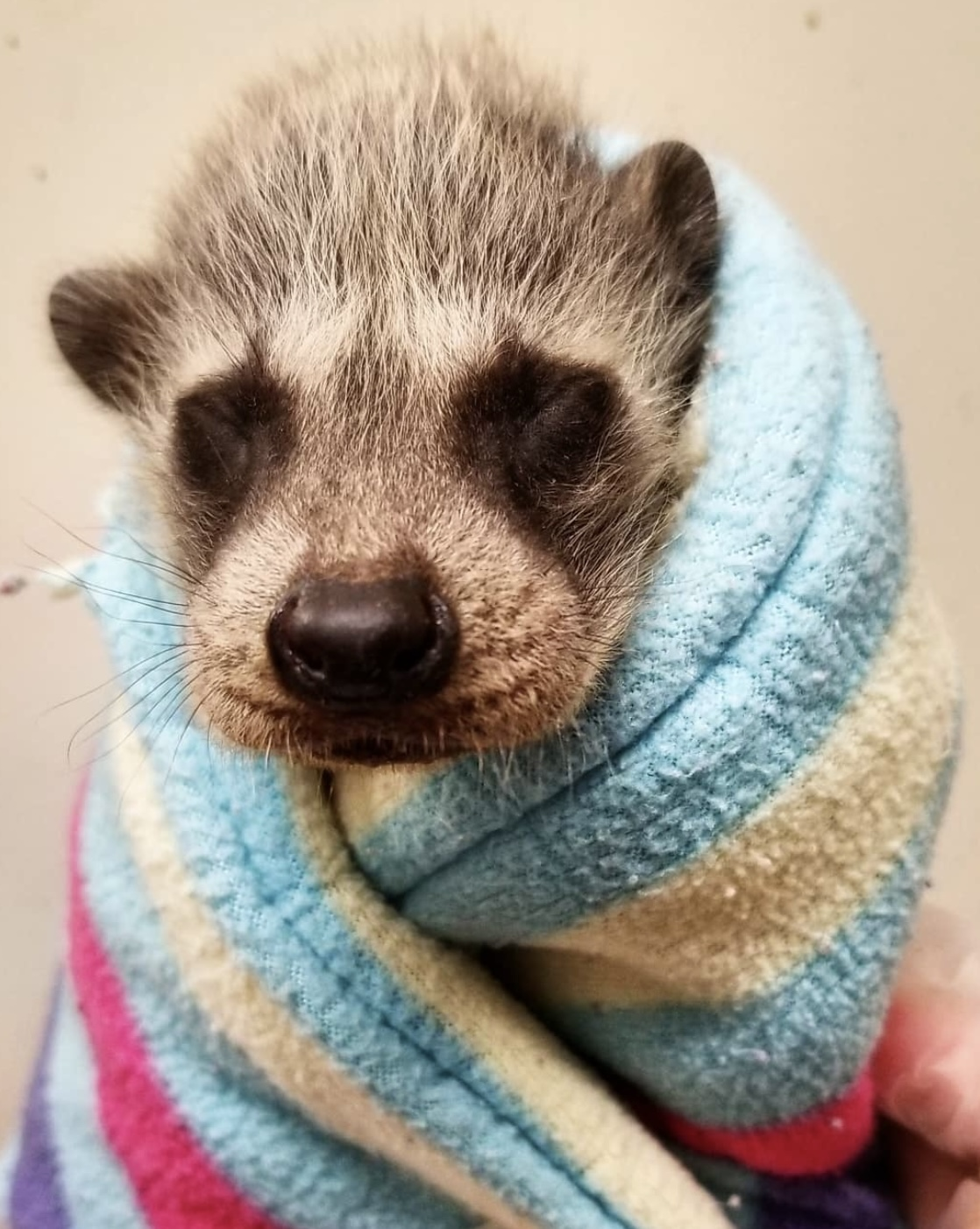 A baby raccoon wrapped in a fleece blanket to stay warm.