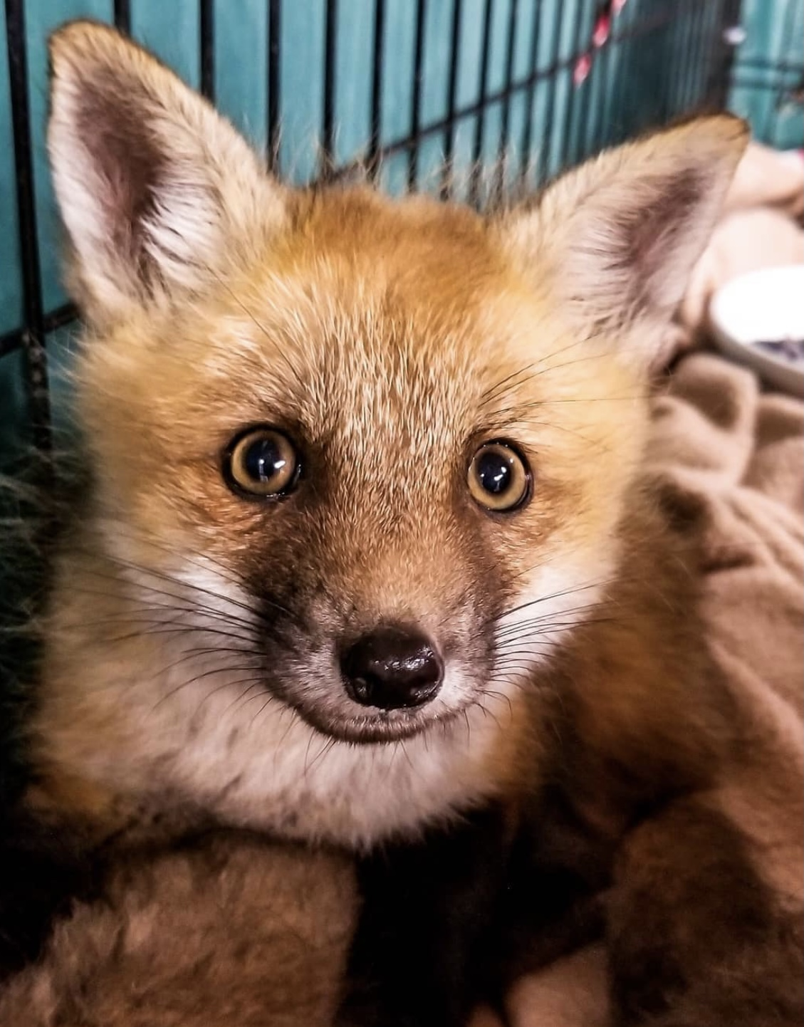 A young fox brought in to UWC.
