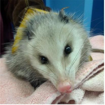 A picture of a frostbitten opossum.