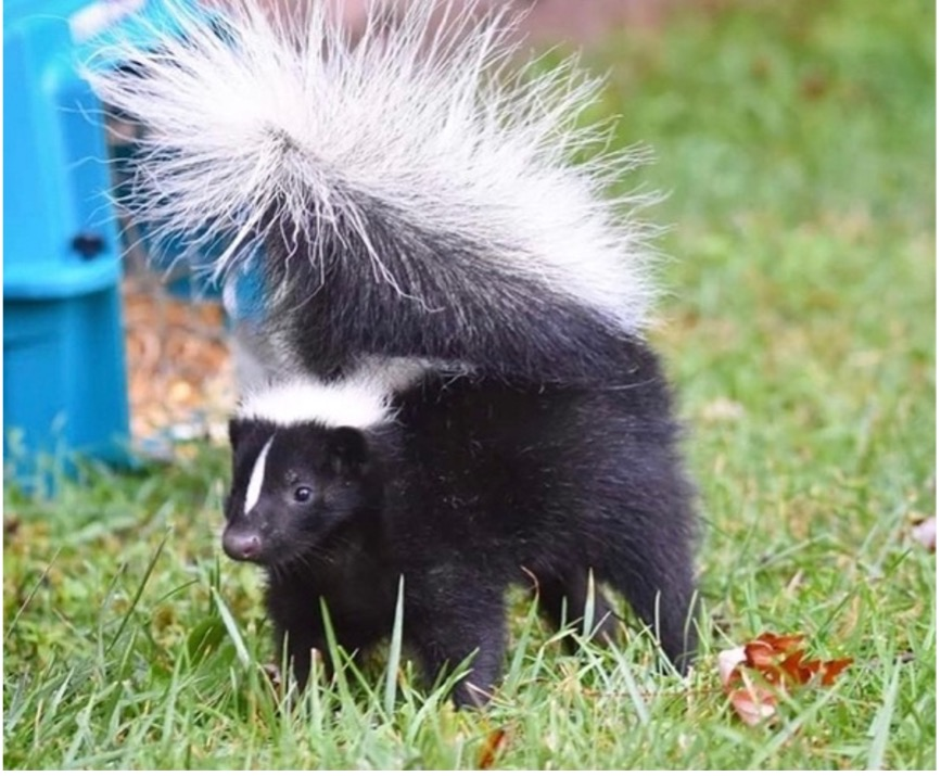 A skunk being released, after being fully recovered.