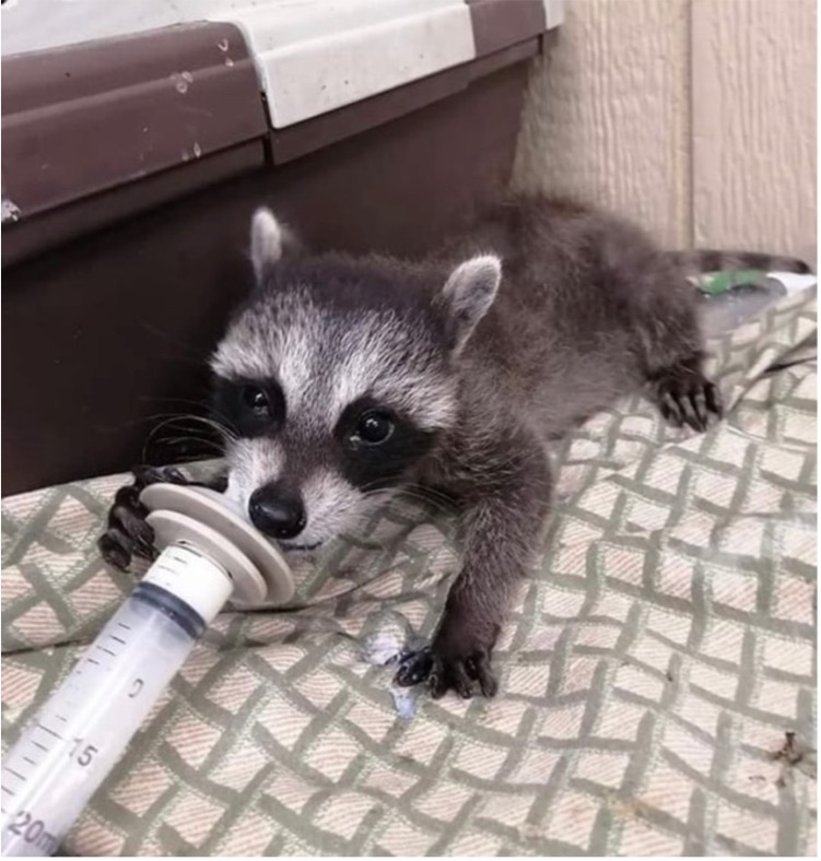 A picture of a baby raccoon suckling formula out of a syringe.