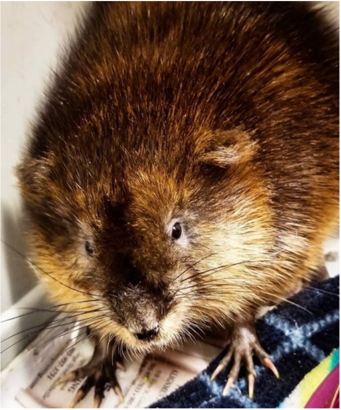 A picture of a muskrat.